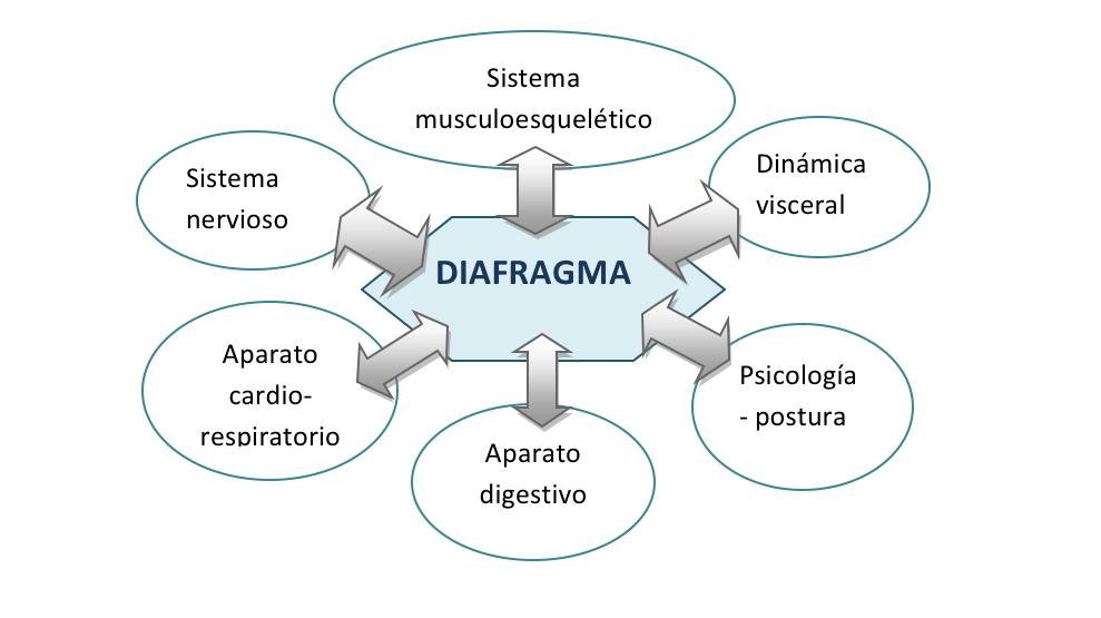 Diafragma - Fisioterapia respiratoria en Téxum Fisioterapia